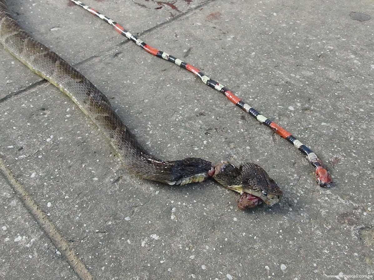 Serpientes venenosas atacan a dos personas