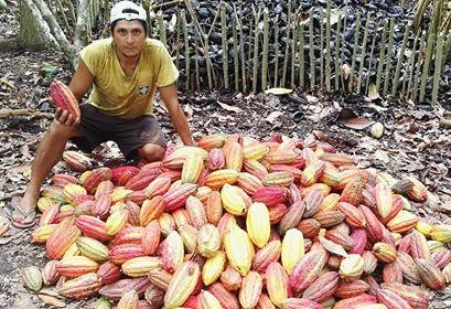 Fuerte sequía afecta cultivos de cacao y cítricos en el Huallaga Central