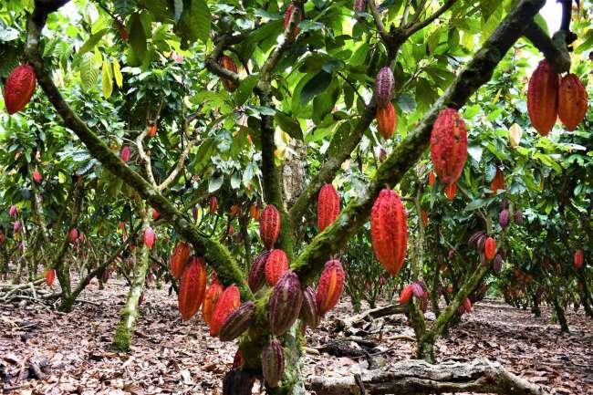 Advierten que déficit de lluvias y fuerte calor afectarían cultivos en San Martín