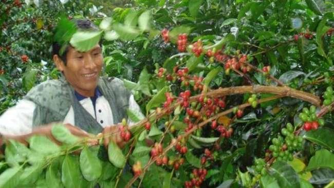 Producción café fue de 5 millones 900 mil quintales en el 2019