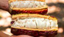 A pesar de la pandemia articulan ventas de cacao por más de S/ 2 millones en el primer semestre del año