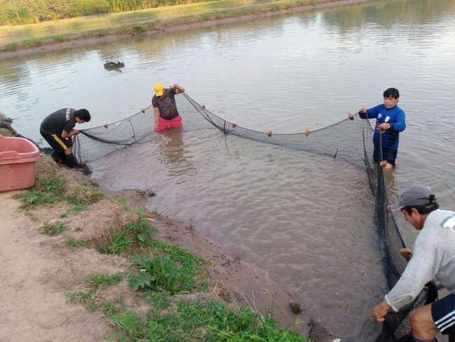 Producción de tilapias en lagunas de propiedad del Tecnológico de la Selva, avanza de acuerdo al  cronograma
