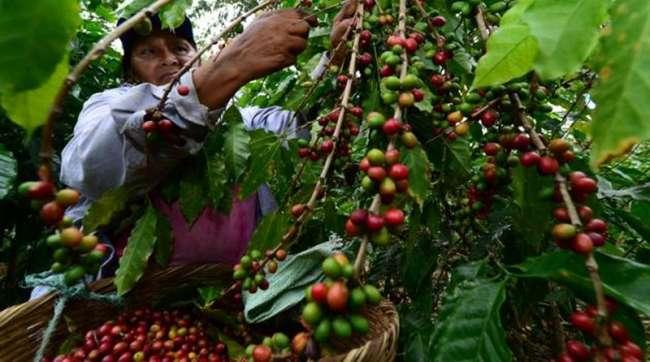 Café generó ingresos de US$ 4.5 millones por 2.300 toneladas de café en esta campaña