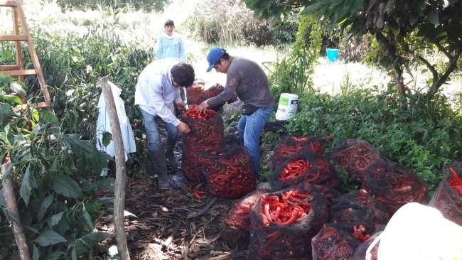 Productores apuestan por el ají cayena y habanero en la región