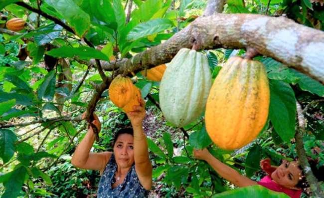 San Martín y Piura intercambian experiencias de investigación en el cultivo de cacao