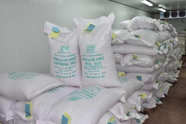 MINAGRI genera más de 10 toneladas de semillas certificadas de arroz para región San Martín