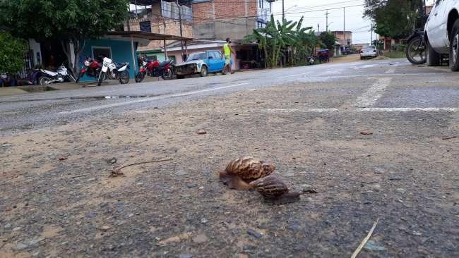 Preocupación por proliferación de caracoles africanos gigantes en plazuela