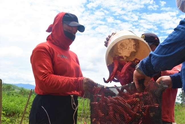Distrito de Santa Rosa ampliará a 50 hectáreas cultivo de ají cayena y habanero