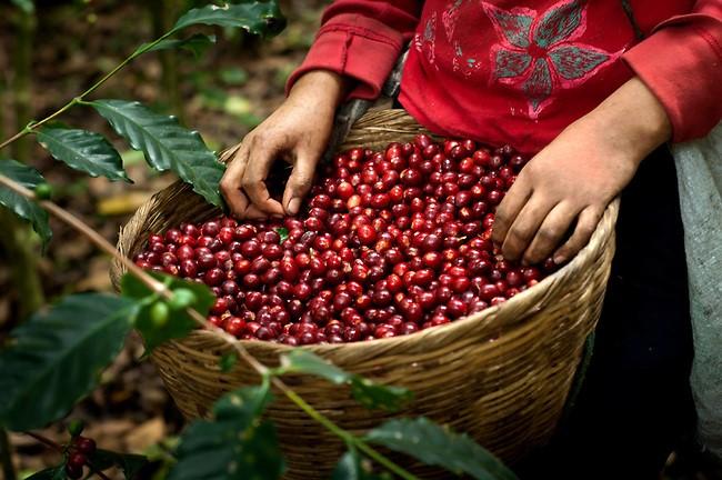 Socializan y unifican criterios en beneficio de la cadena de valor del café en San Martín