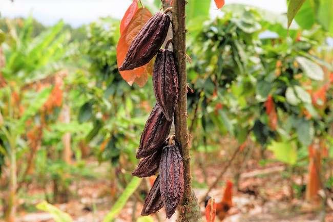Cacao sanmartinense no tiene niveles de cadmio que afecten su calidad