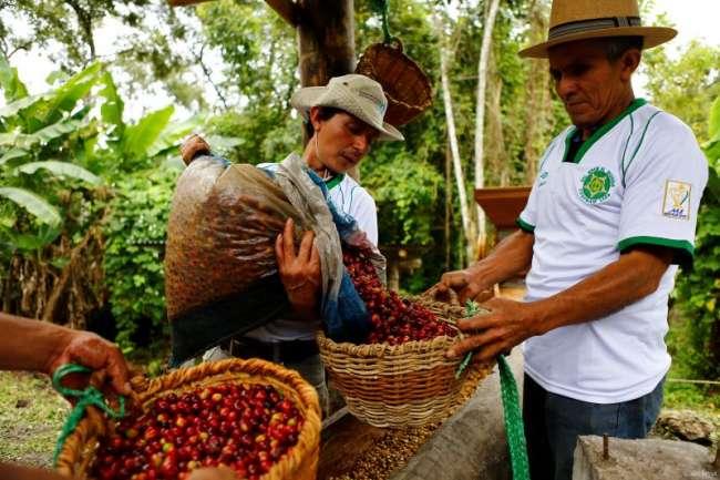 La historia de la cooperativa amazónica que cultiva café contra la deforestación. CULTIVOS DE ESPERANZA