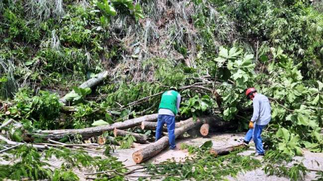 En Alameda Shilcayo cae árbol.
