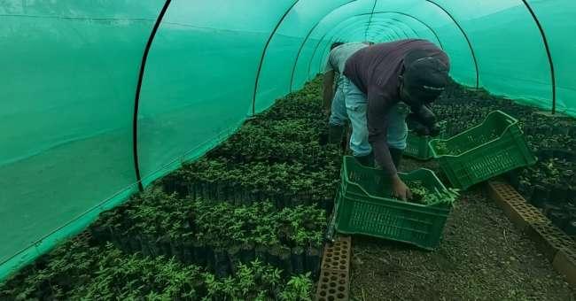 GORESAM REALIZA ENTREGA DE PLANTONES  FORESTALES  EN LA COMUNIDAD DE SAN JOSE DE HUAQUISHA – TOCACHE