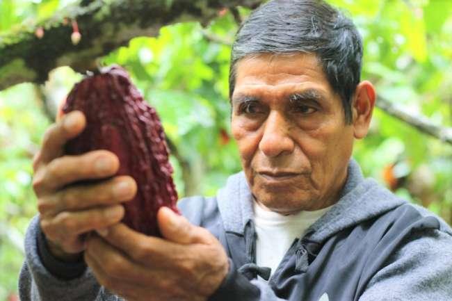 Seis cooperativas de Campanilla y Pólvora logran certificación orgánica en cacao
