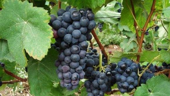 Buenas Noticias: Perú se consolida como el segundo exportador de uvas a EE.UU. y quinto al mundo