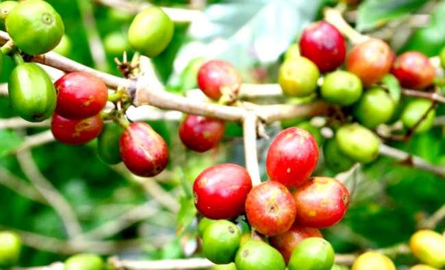 Exportación de café crecería este 2021 por segundo año consecutivo