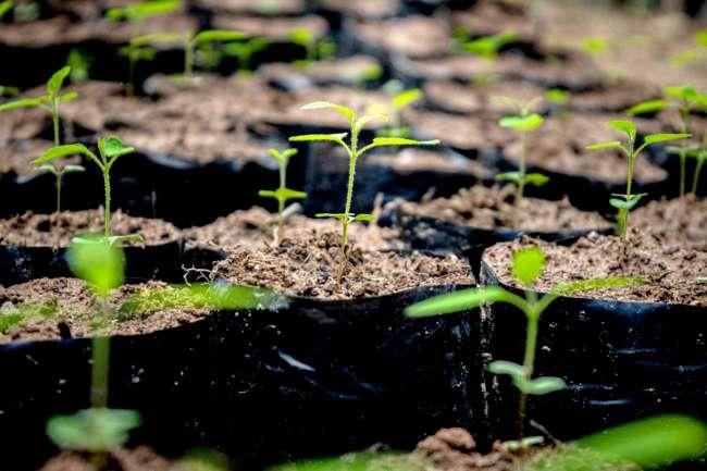 Sembrarán más de 32 mil plantones forestales en las provincias de Tocache y Mariscal Cáceres