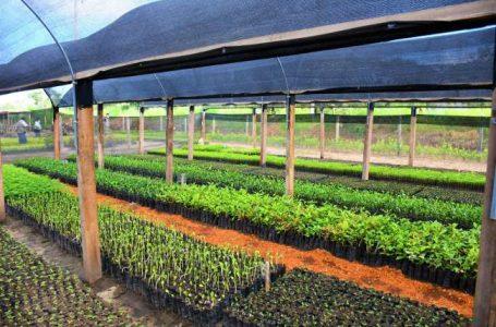 Autoridad de Yarina espera recibir 100,000 plantones en el presente año.