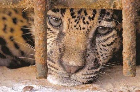 Enfrentar el tráfico de especies como un delito de crimen organizado