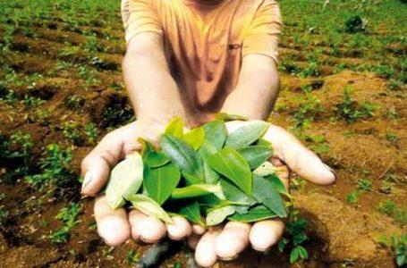 Devida reporta 61,777  hectáreas de cultivos de coca en producción al 2020